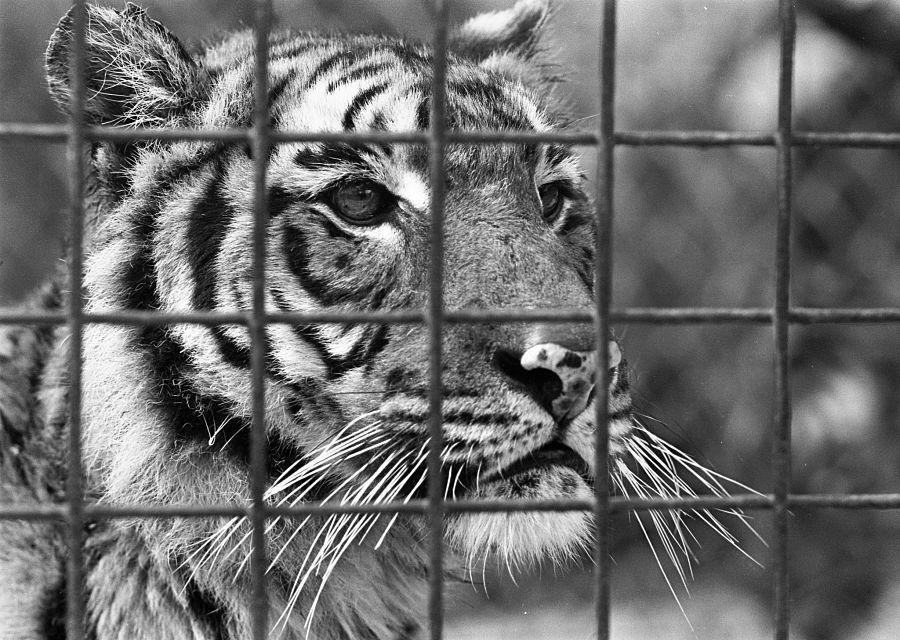 Tijger in de dierentuin van Arnhem - Foto: Nationaal Archief, Eric Koch, Anefo