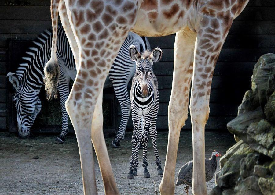 Jonge Grevy zebra op de savanne van Artis - Foto: Artis, Ronald van Weeren