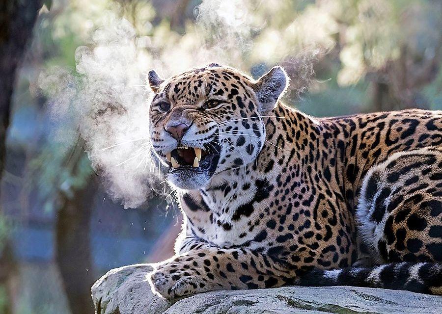 Jaguar in Artis - Foto: Artis, Edwin Butter