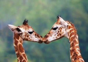 Giraffen in Beekse Bergen