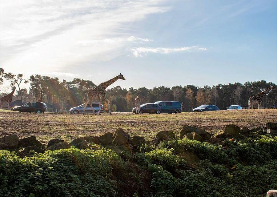 Giraffen bij de autosafari van Beekse Bergen