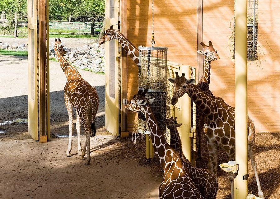 Giraffen in Diergaarde Blijdorp, Rotterdam