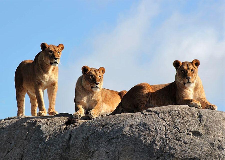 Leeuwinnen in Serenga in Wildlands Adventure Zoo