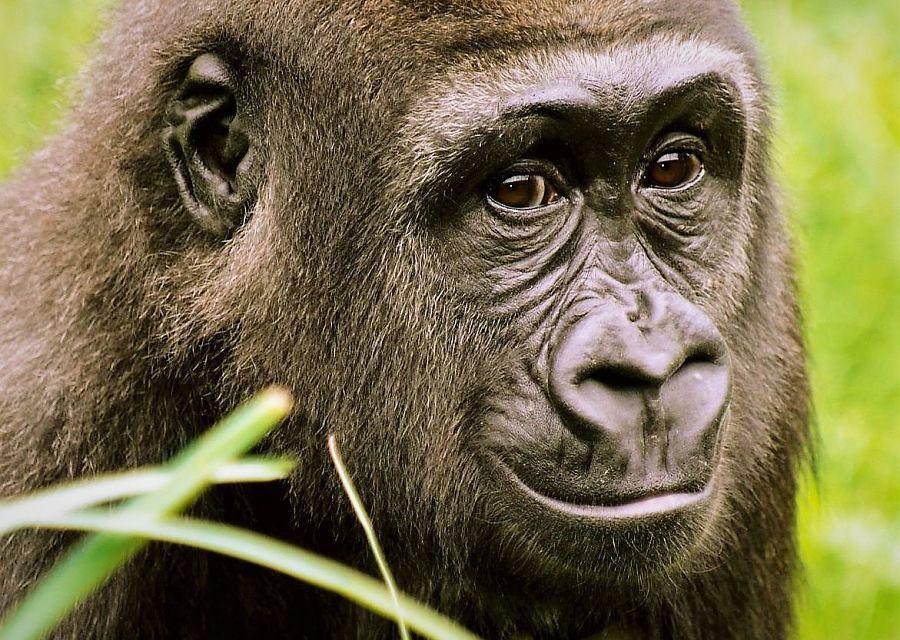 Een gorilla in Diergaarde Blijdorp, Rotterdam