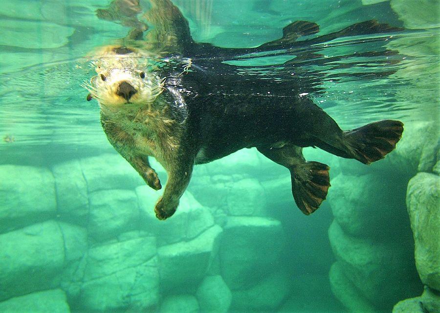 Een zeeotter in Diergaarde Blijdorp, Rotterdam