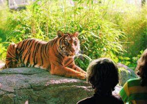Een tijger in Diergaarde Blijdorp, Rotterdam